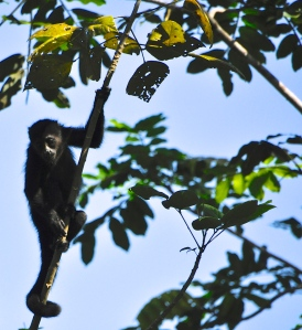 Howler monkey, Costa Rica